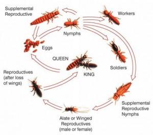 termite-colony