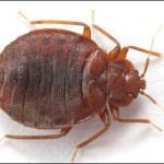 bed-bug-image