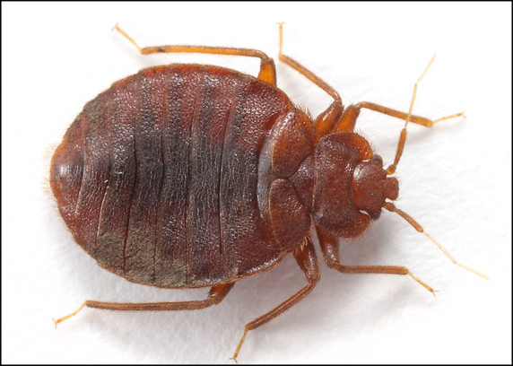 Can Bed Bugs Survive Outdoors