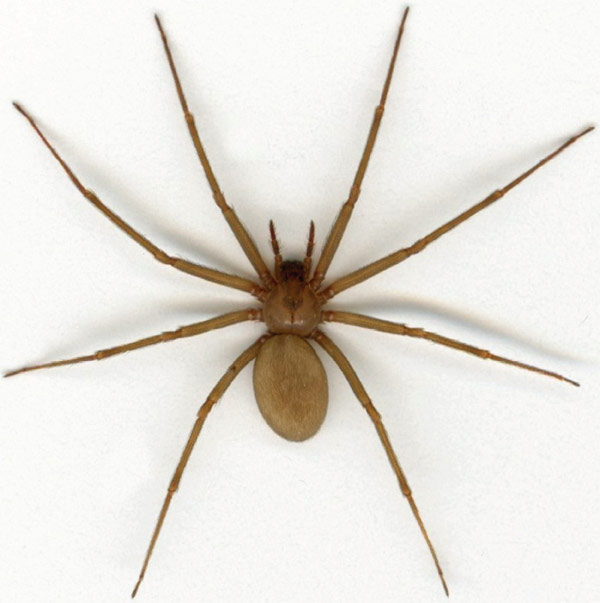 Brown Recluse First Aid Kit - Bite Photos and