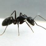 carpenter-ant-image