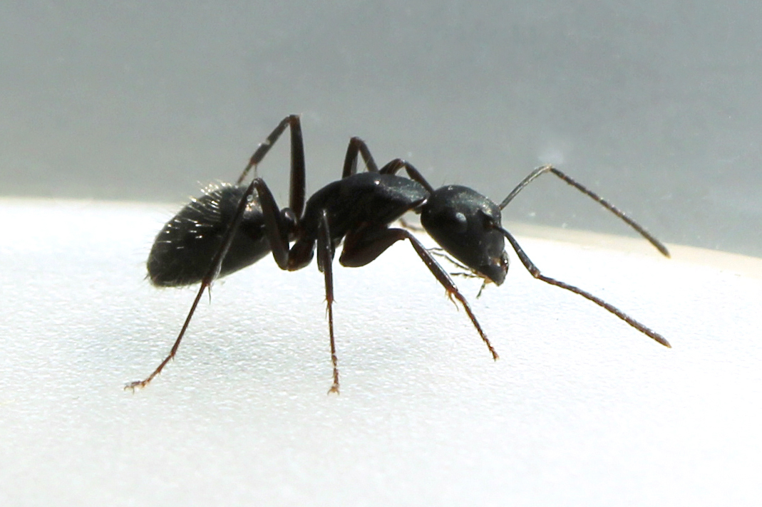 Large Black Ants In My Kitchen