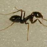 crazy-ant-image