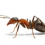 fire-ant-image