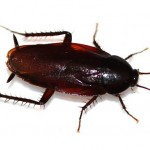 smokybrown-cockroach