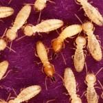 termites-image